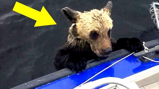 Mama Bear Pleaded to Him to Save Her Drowning Cubs, Then This Happened