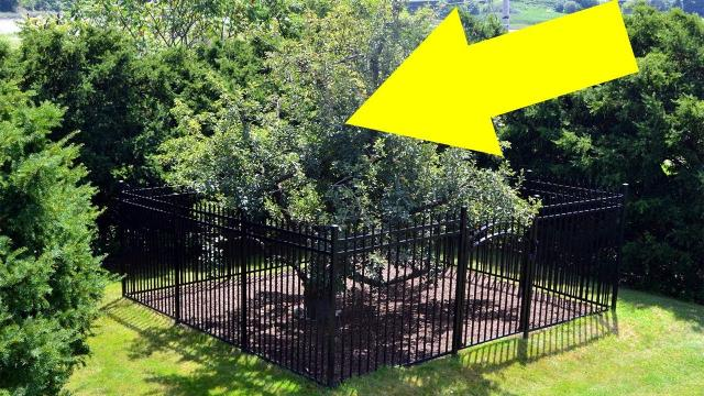 They Built A Fence Around This Tree Decades Ago, And Touching It Will Land You In A World Of Trouble