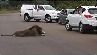 When Two Children Filmed This Lion From A Car, The Big Cat  Showed His true Nature