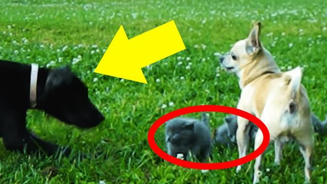 Big Dog Approaches Kittens, But Brave Chihuahua Saves The Day