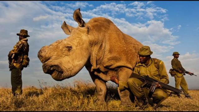 THIS RHINO IS PROTECTED BY ARMED GUARDS 24/7. I WAS SHOCKED WHEN I LEARNED THE REASON WHY