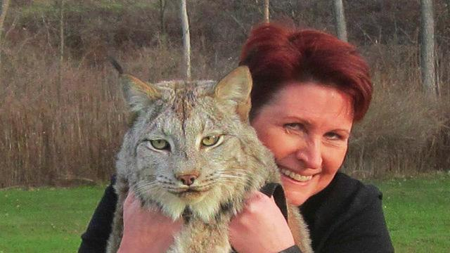 This Canadian Lynx Is Twice The Size Of A Cat. Now Watch His Reaction When A Trainer Goes To Pet Him