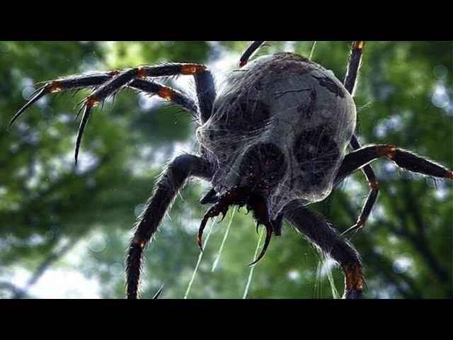 J'ba Fofi—The Giant Conngolese Jungle Spider