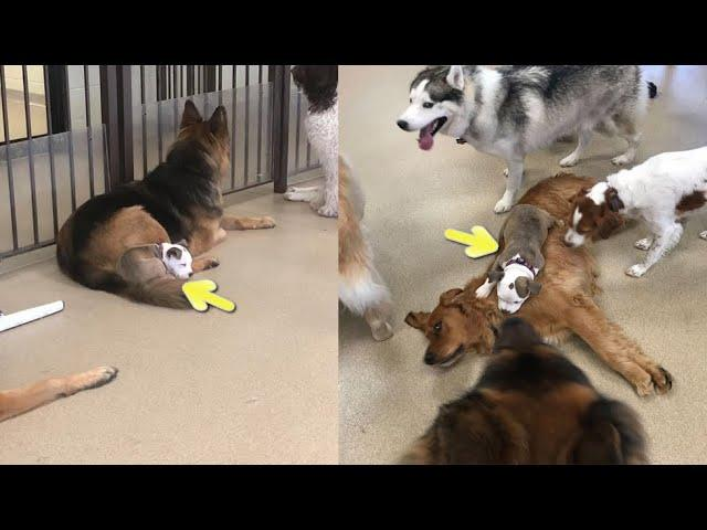 This Dog Always Finds The Fluffiest Dogs In Daycare So She Can Nap On Them
