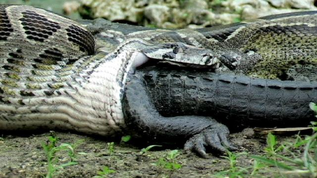 What Happens When A Python And Crocodile Meet Is Insanely Graphic
