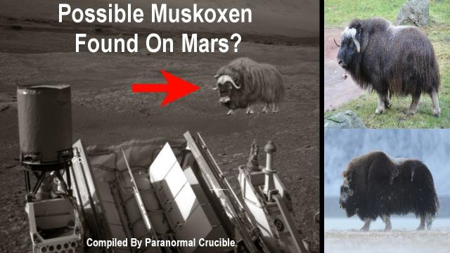 Possible Muskoxen Found On Mars?