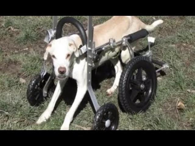 This Family Finds A Paralyzed Dog But Decides To Try The IMPOSSIBLE