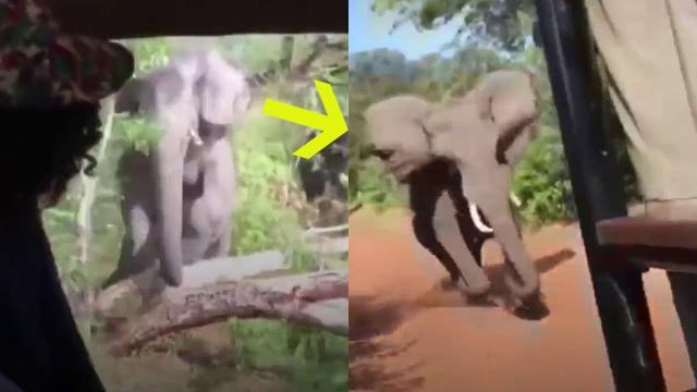 After Tourists On A Safari Spotted An Elephant, They Suddenly Realized They Were In  big trouble