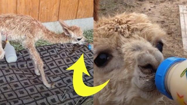 This 6 Pound Alpaca Has An Amazing Survival Story