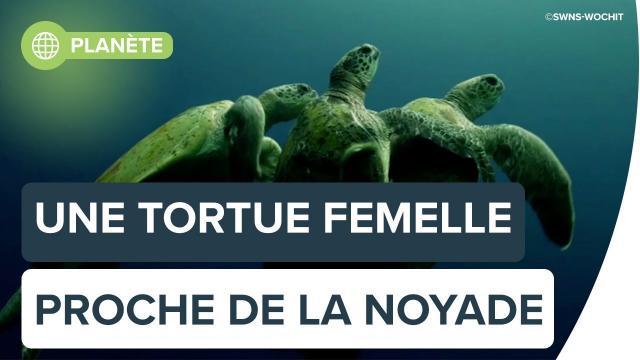 Une tortue femelle proche de la noyade | Futura
