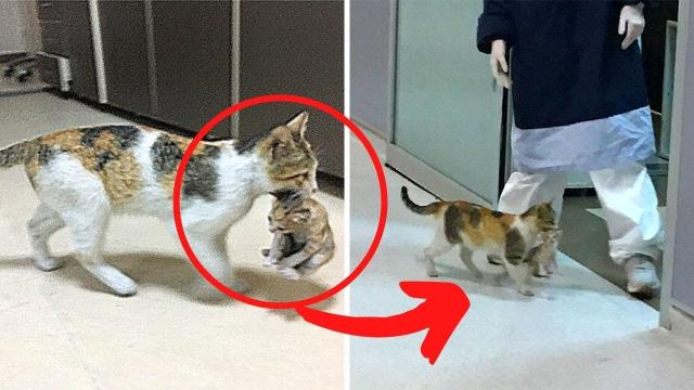 Mother Cat Brings Her Ill Kitten To The Hospital, Medics Rush To Help Them