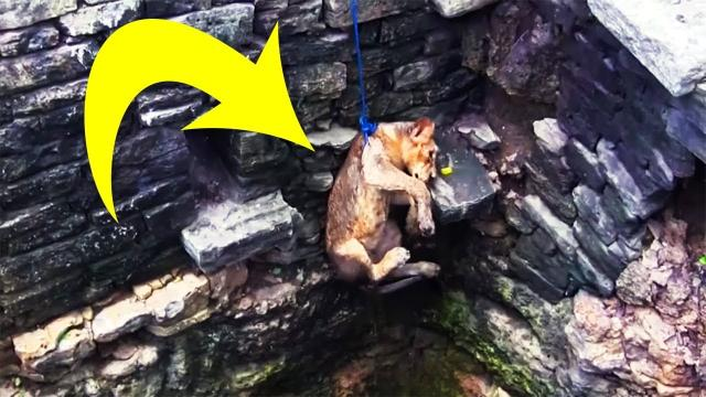 When Locals Saw A Lion Drowning In An 80ft Well, They Put A Daredevil Rescue Plan Into Action