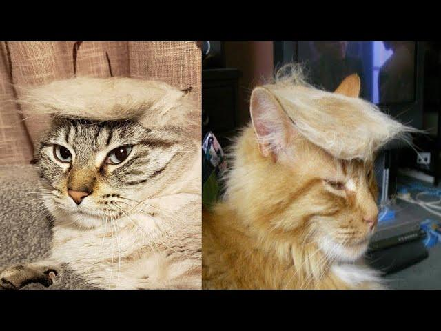 People Are Making T rump Cats by Creating Toupees From Their Own Fur